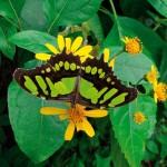 Orta Amerika'da neotropikal bölgenin en iri ve şaşırtıcı kelebek türleri…