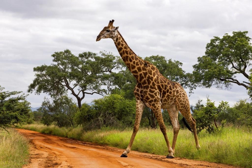Zürafalar Bayılmaz