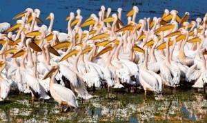 Ak Konuklar Tepeli pelikana göre biraz daha küçük yapıda olan ak pelikanlar, Manyas Gölü'nde sadece göç dönemlerinde büyük kitleler halinde görülüyor. Bazen o kadar kalabalık koloniler oluşturuyorlar ki uzaktan bakıldığında göl üzerinde beyaz adacıkları andırıyorlar.