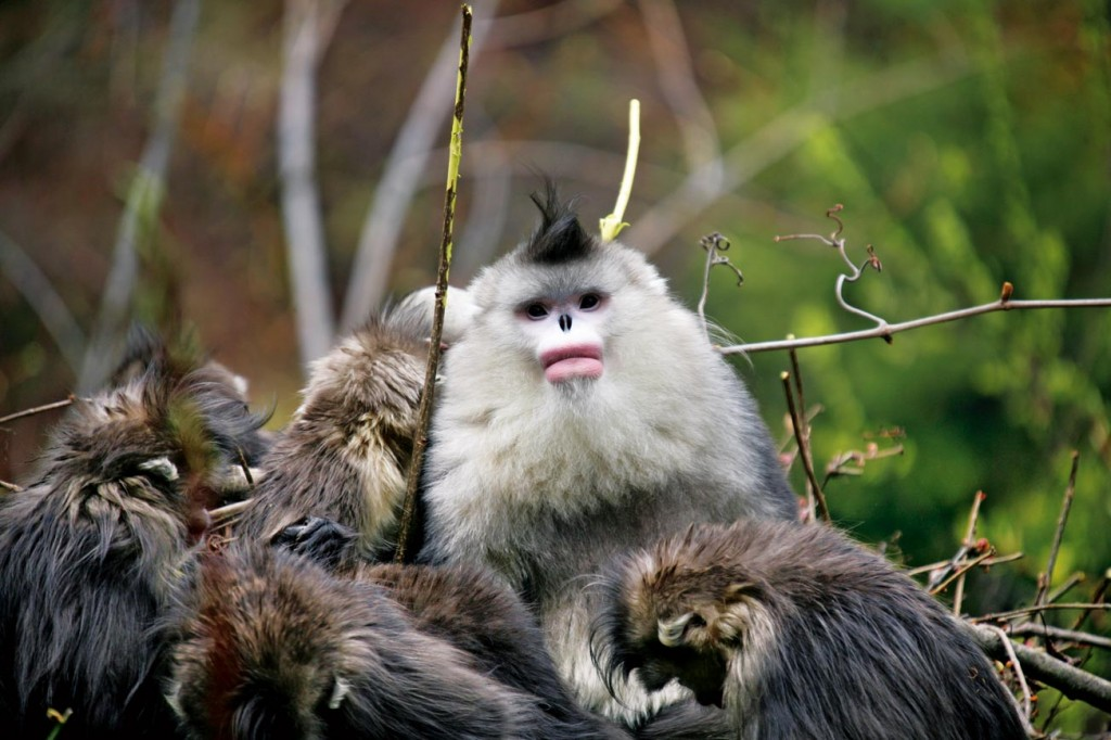 Ebe Maymunlar