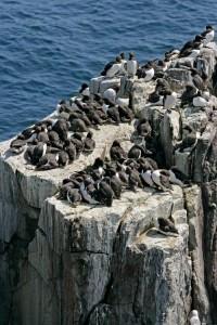 Uria aalge türü kuşlar, yumurtalarını deniz kıyısındaki kayalıkların üstüne bırakıyor. Yumurtalarının özelliklerinden biri de bir uçlarının sivri oluşu; böylece dürtüldüklerinde kendi eksenleri etrafında mükemmel bir daire çizerek dönüyorlar ve kayalıklardan aşağı yuvarlanmıyorlar. Fotoğraf: Mike Lane