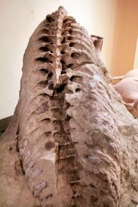 Mut ilçesinde tarla süren bir çiftçinin tesadüfen bulduğu fosil Metaxytherium. Fotoğraf: Marcin Hjdasz
