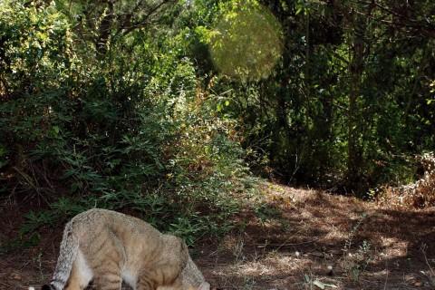 Adana – Akyatan, Saz Kedisinin İzinde