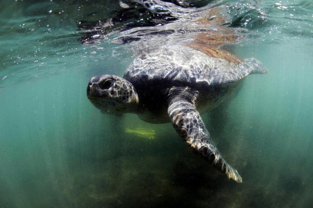 Deniz Kaplumbağaları: Eve Dönüş