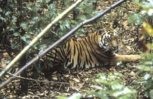 Bengal kaplanı (*) Bengal tiger | Atlas |