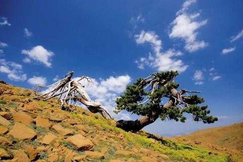 Ölümsüz Ağaçlar