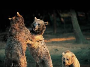 rm_atlas_bear | Atlas |
