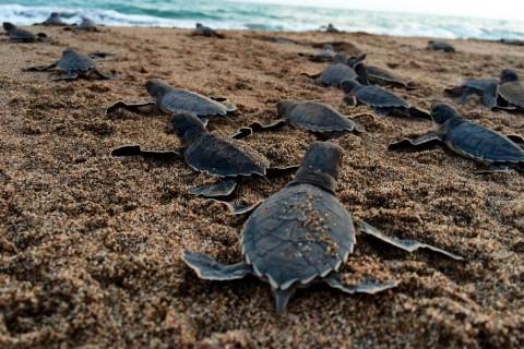 Denizkaplumbağaları; Suya Kavuşan Yavrular