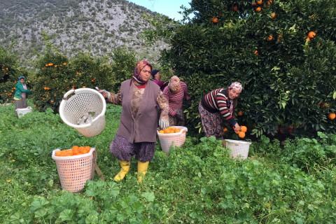 Finike Portakalı Taşa Karşı