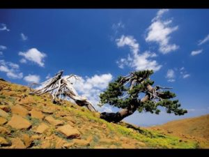 Ölümsüz-Ağaçlar | Atlas |