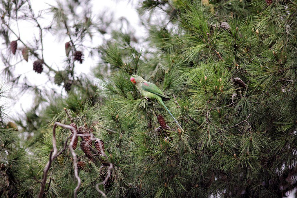 Papağanlar; Davetsiz Misafirler