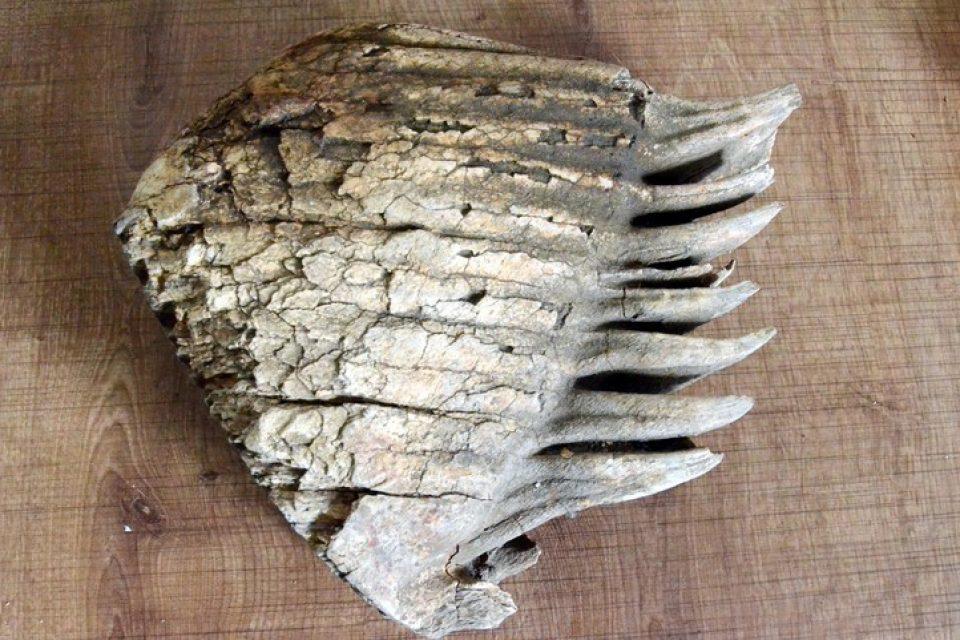 Kahramanmaraş'ta Mamut Kalıntısı