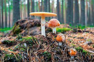 Fly agaric mushroom   Atlas  