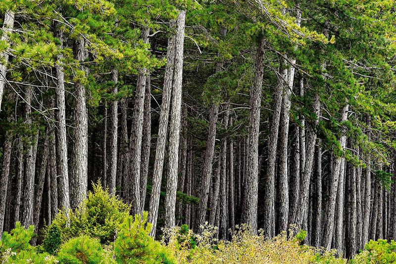 Bir ağacın mantar ağı sayesinde etrafındaki yüzlerce ağaçla bağlantı kurduğu son yapılan bilimsel araştırmalarla kanıtlandı. Fotoğraf: Turgut Tarhan