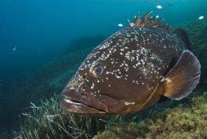 Dusky grouper, Lavezzi Islands, France | Atlas |