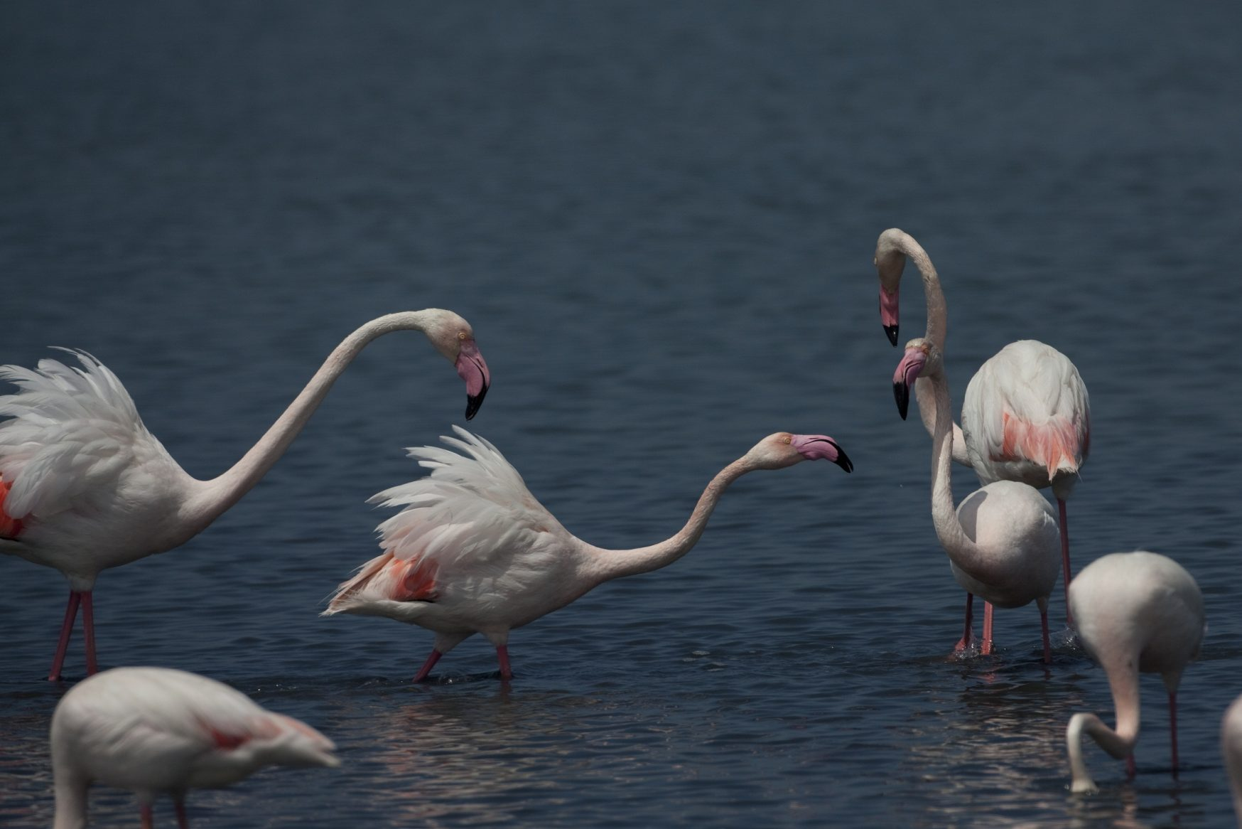 Tuz Gölü'nün Flamingoları Tehlikede