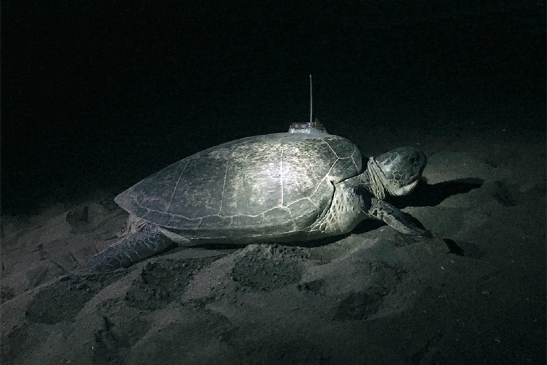 Kaplumbağayı İzlemek