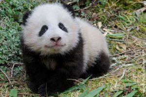 Giant panda, China | Atlas |