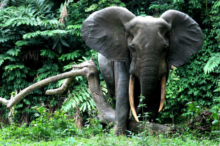 Fil Nüfusu Geriliyor