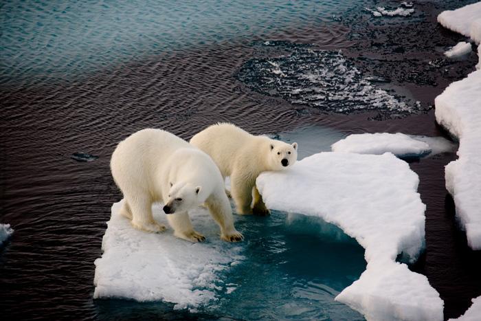 Kutup ayıları yalnızca Arktik'te, Kuzey kutbuna yakın bölgelerde yaşar.