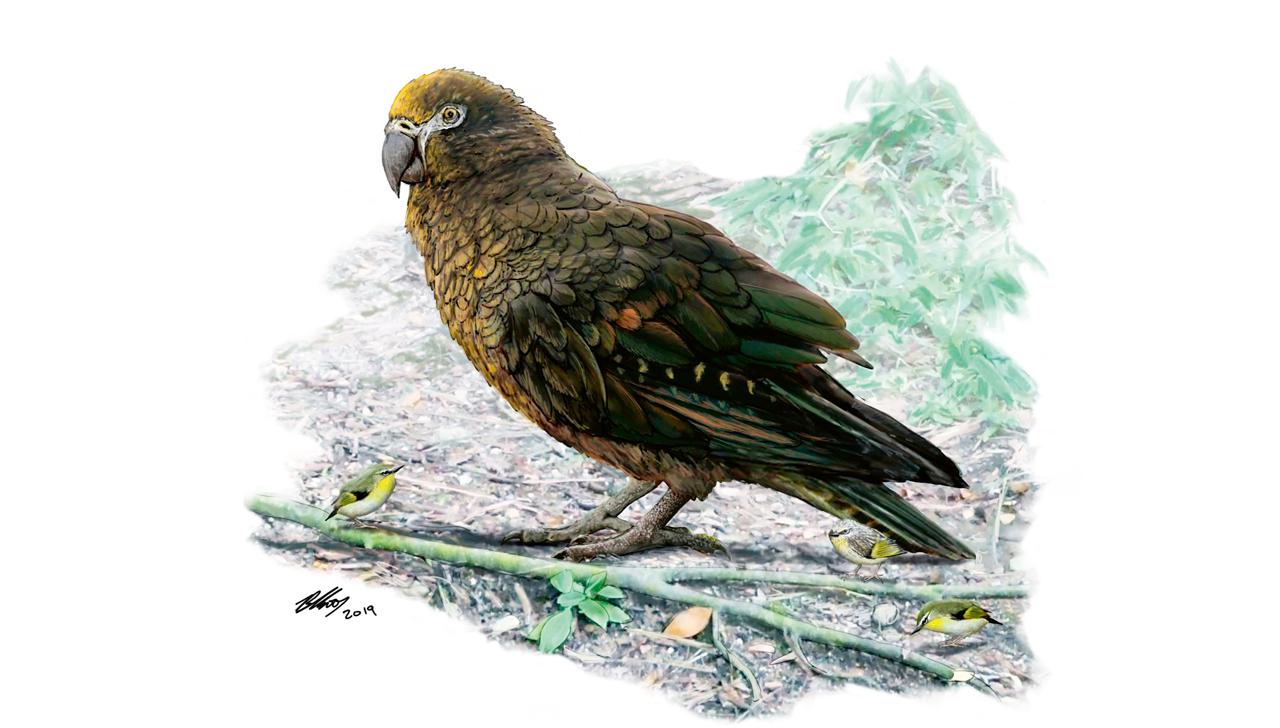Yeni Zelanda'da dev papağan fosili | Atlas | Gündem