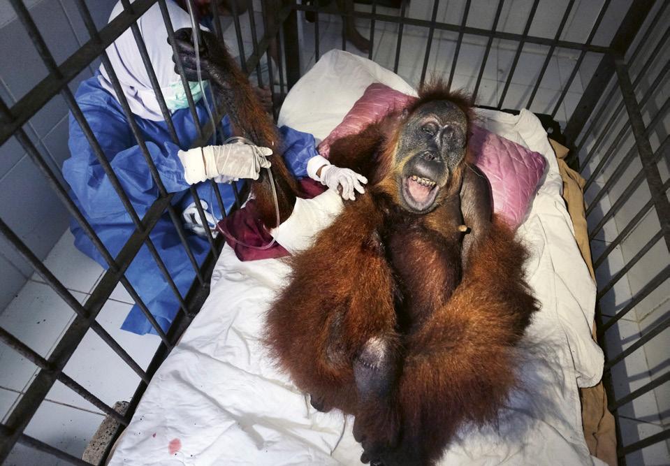 Orangutanları kurtarmak | Atlas | Keşfet