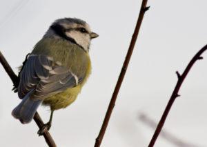 Vatandaş bilimine bir katkı da sizden: Kuş seslerini kaydedin! | Atlas | ebird