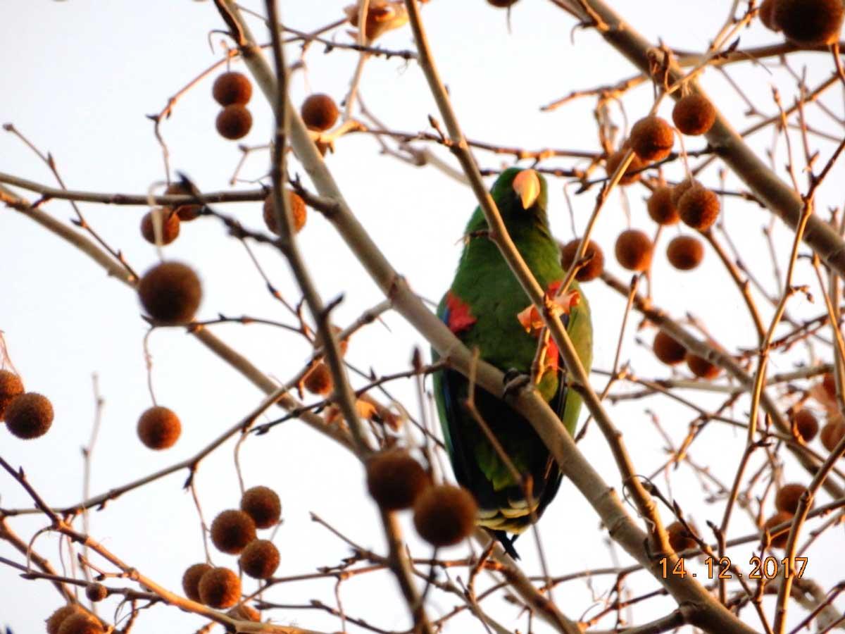 Aynur-Tosun - Eklektus papaganı