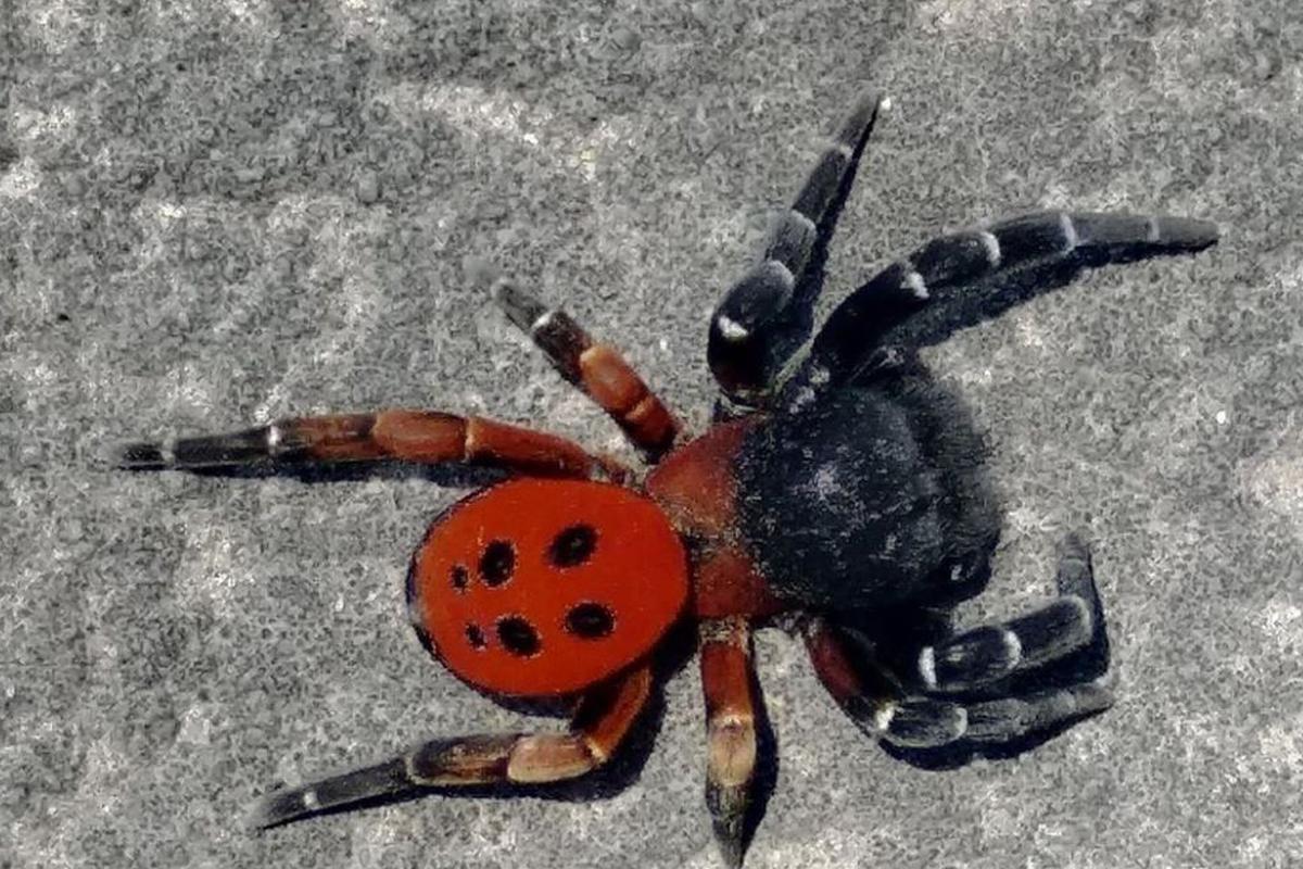 Fotoğraf Eskişehir'den: Uğur Böceği Örümceği | Atlas | Doğa Coğrafya